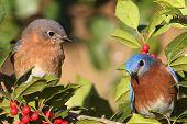 picture of bluebird  - Pair of Eastern Bluebirds  - JPG