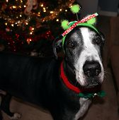 picture of great dane  - Great Dane dressed up for Christmas time - JPG