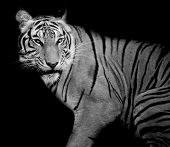 pic of sundarbans  - Closeup Tiger  animal wildlife black color background - JPG