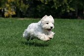 Cute Westie Flying