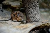 stock photo of shrew  - A south african mouse - JPG