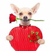 foto of dog-rose  - valentines chihuahua dog holding a present box and a red rose in mouth isolated on white background - JPG
