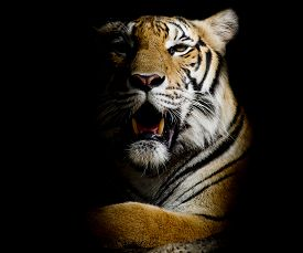stock photo of jungle animal  - Tiger portrait of a bengal tiger black color background - JPG