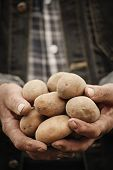 stock photo of potato-field  - Close-up of male hands holding potatos on a background of the vegetable garden ** Note: Shallow depth of field - JPG
