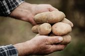 image of potato-field  - Close-up of male hands holding potatos on a background of the vegetable garden ** Note: Shallow depth of field - JPG