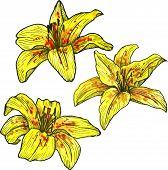 stock photo of yellow  - three yellow flowers of lilies - JPG