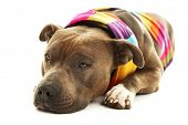 picture of american staffordshire terrier  - American Staffordshire Terrier with colorful scarf isolated on white - JPG