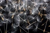 foto of extreme close-up  - Many dandelion seeds - JPG