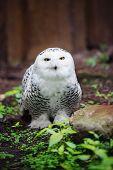 stock photo of snowy owl  - white snowy owl sitting on the ground - JPG