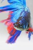 picture of siamese fighting fish  - Close-up Detail Of Siamese Fighting Fish,colorful Half Moon Type. Shallow Depth Of Field Composition ** Note: Shallow depth of field - JPG