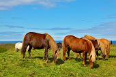 stock photo of iceland farm  -  Charming horses on free ranging on the beach - JPG