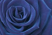 image of rose close up  - rose close up - JPG