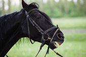 foto of pony  - black horse head close - JPG