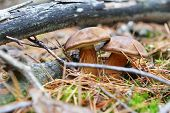 pic of eatables  - view of eatable mushrooms growing in forest  - JPG