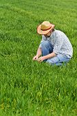 picture of cultivation  - Farmer Examines and Controls Young Wheat Cultivation Field Crop Protection Concept - JPG