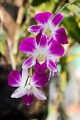 image of violet  - Beautiful orchids flowers Close-up of bright violet orchids violet pink orchid close up in nature background. ** Note: Visible grain at 100%, best at smaller sizes - JPG