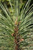 picture of backwoods  - Detail of a conifer tree Pinus Arizonica - JPG