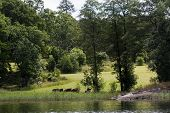 stock photo of sea cow  - herd of cows grazing by the water  - JPG