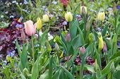 picture of forget me not  - Spring flower bed with forget - JPG