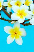stock photo of frangipani  - Frangipani flowers on a tree in the garden - JPG