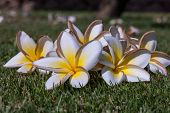 foto of frangipani  - The white frangipani flowers with leaves close up on the background of green grass - JPG