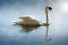 foto of water bird  - Swan in the morning sunlight with reflections on calm water in a lake - JPG