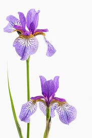 foto of purple iris  - Close up of two siberian irises purple with golden orange falls and standards and stems and buds - JPG