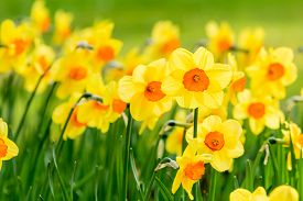 pic of daffodils  - Lovely field with bright yellow and orange daffodils  - JPG