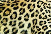 stock photo of panthera uncia  - Snow Leopard Irbis  - JPG