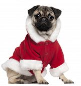 picture of santa-claus  - Pug puppy wearing Santa outfit 6 months old sitting in front of white background - JPG