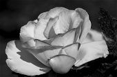 image of boise  - This is a rose that was at the Boise Rose garden - JPG