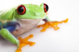 stock photo of red eye tree frog  - Frog  - JPG