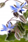 image of borage  - Close up view of the Borage Flower  - JPG