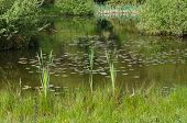 stock photo of marshlands  - reed growing in a small shallow pond - JPG