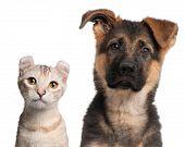 Постер, плакат: Немецкая овчарка щенка 3 месяца и американский Curl котенка 7 месяцев перед белым обратно