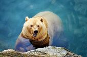 picture of polar bears  - beautiful polar bear swimming in the pool - JPG