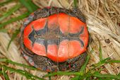 picture of winnebago  - Plastron of a hatchling Painted Turtle  - JPG
