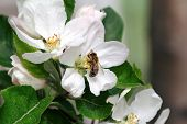 Honey Bee Pollinating Apple Blossoms. Spring Blossoms, Apple Blossoms In Spring. Blossom Apple Over poster