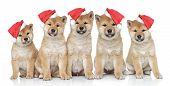 Puppies In Christmas Caps On A White Background