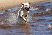image of labradors  - Happy labrador retriever running and splashing in water - JPG