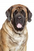 stock photo of english-mastiff  - Portrait of a english mastiff on white background - JPG
