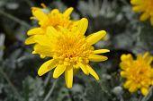 African Bush Daisy Sunshine Silver Double Yellow Flowers - Latin Name - Euryops Sunshine Silver Doub poster