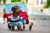 Portrait Dog Of The Dachshund Is Disabled Breed In Costume As A Traveling Theater In The Park At A P poster