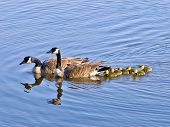 picture of mother goose  - Image of Goose Gander and Goslings crossing lake - JPG