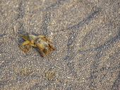 ..insect Among The Sand In The Desert. The Inhabitants Of The Desert. Brown Pest. poster