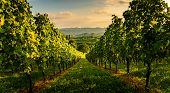 South Styria Vineyards Landscape In Sulz Austria. View At Vineyard Fields In Sunset Sun In Summer. T poster