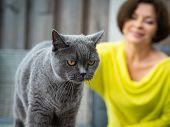 Senior British Shorthair Cat Blue, Woman In Yellow Dress Blurred Background poster