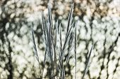 picture of pampas grass  - Leaves of grass of the pampa on Sky - JPG