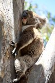pic of eucalyptus trees  - Koala  - JPG