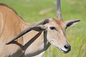 stock photo of eland  - Eland  - JPG